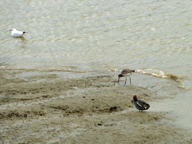 Thames birds