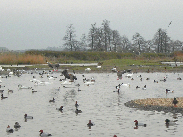 Wildfowl at Slimbridge