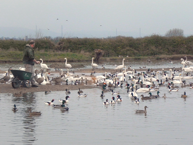 Feeding Time at Slimbridge