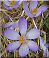 SE8586 : Wayside crocuses by Pauline Eccles