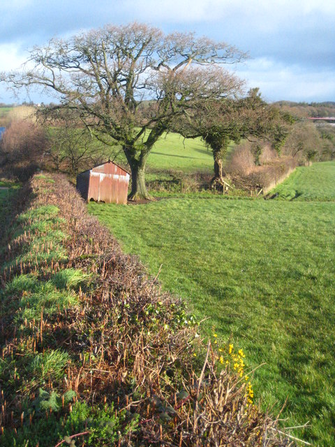 Tin shed and oak tree in a field in Bowerland Road