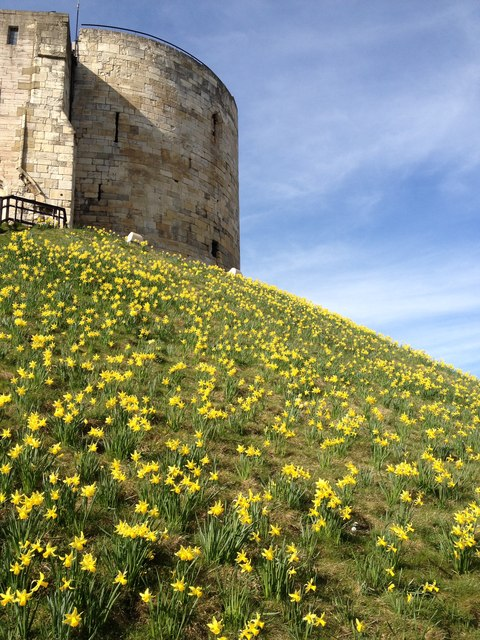 Daffodils, Cliffords Tower, York