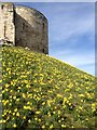SE6051 : Daffodils, Cliffords Tower, York by hayley green