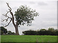 SJ7359 : Weatherbeaten tree near Ettiley Heath, Cheshire by Roger  Kidd