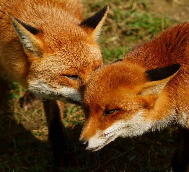 Знакомств лис