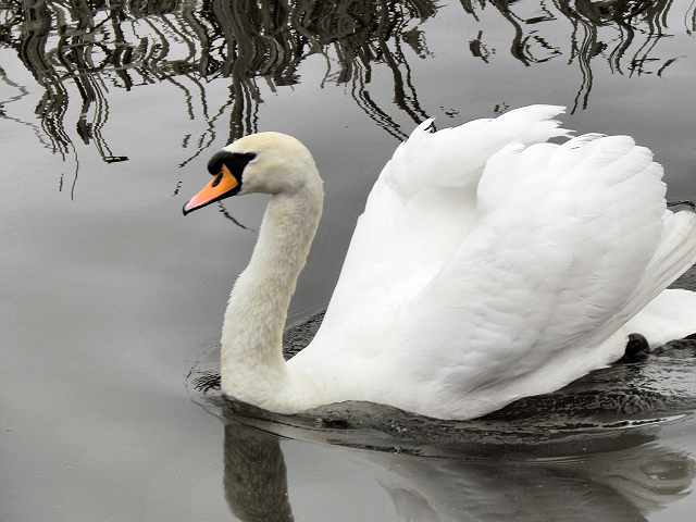 how to catch a mute swan