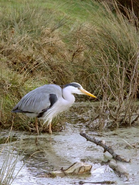Hunting for frogs - Heron at Bishop's Lodge Pond, Richmond Park