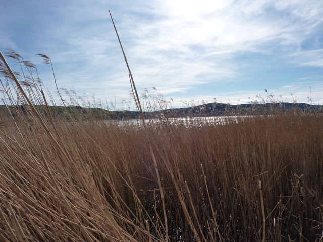In the reed beds of the Tay