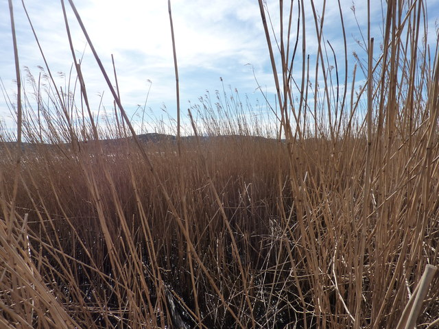 The reed beds at eye level
