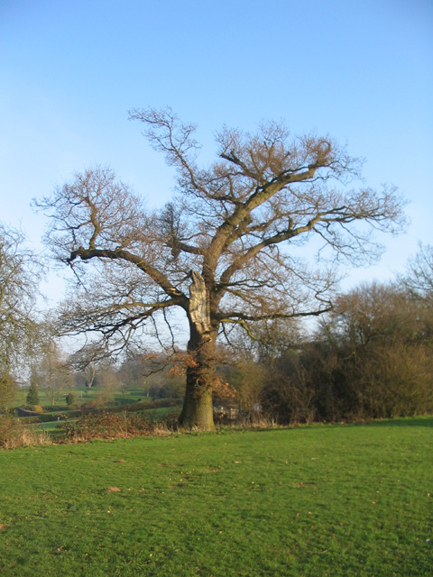 Scarred oak, Allesley Park