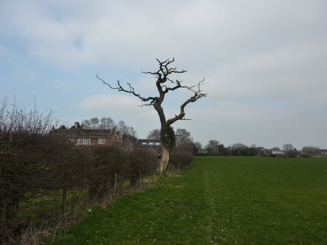 Dead tree in field at Woodford