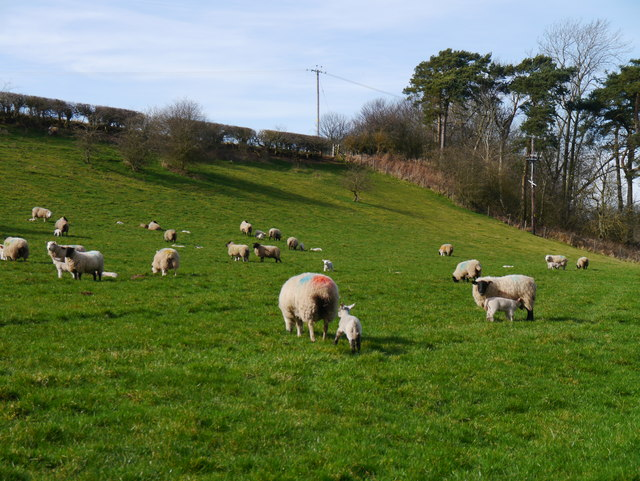 Sheep Grazing Beside The Whiteadder Water