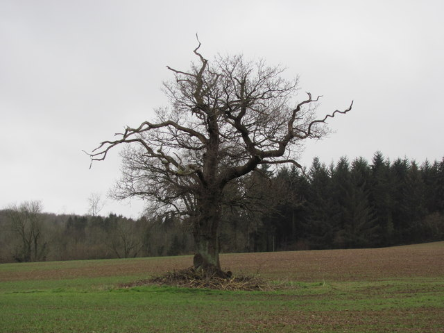 Oak tree by Rhymney River Circular walk