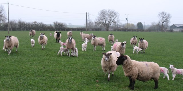 Sheep at West Farm