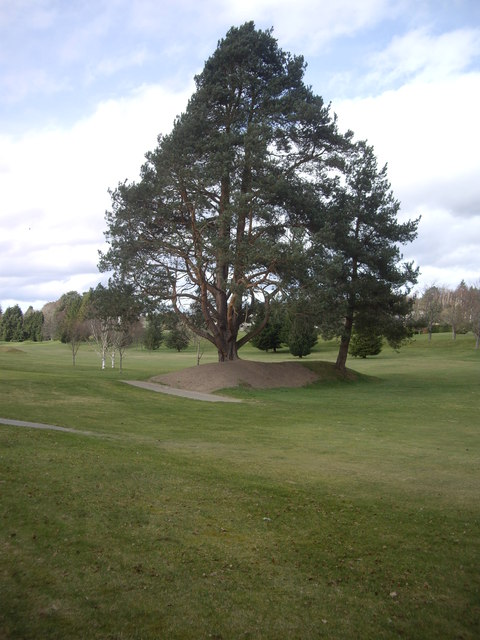 Pine trees on Banchory golf course