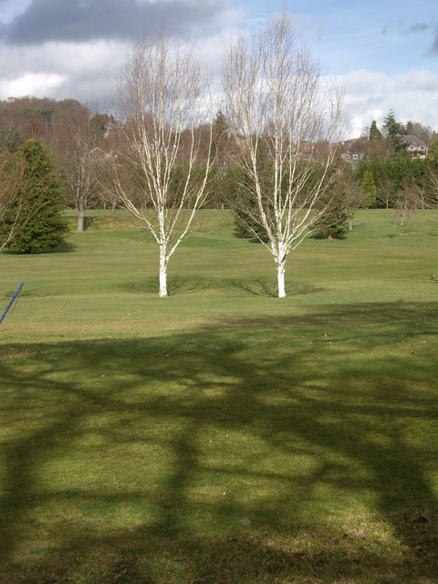 Bare birches on the golf course