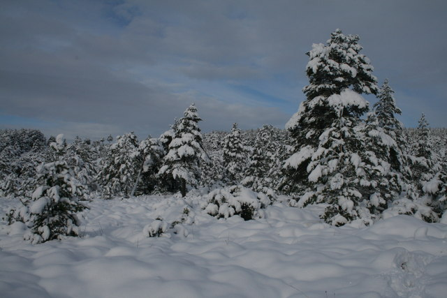 Forest edge in deep snow