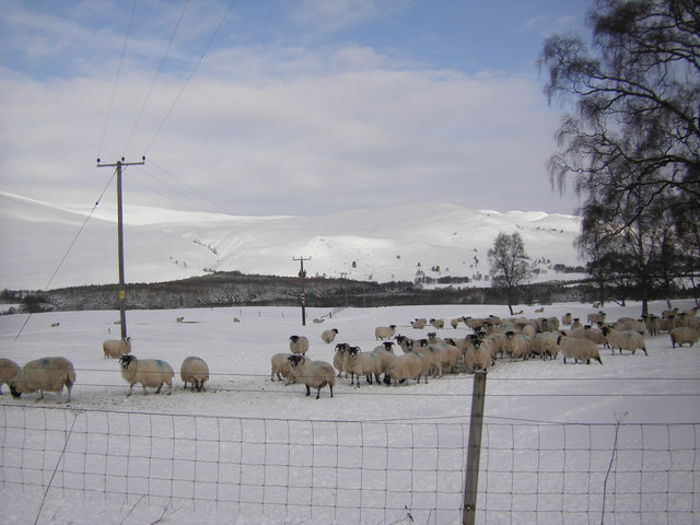 Sheep in snow, Dalraddy