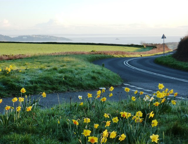 Daffodils at Kennels Road Dartmouth Lane Junction, Torbay spread out below