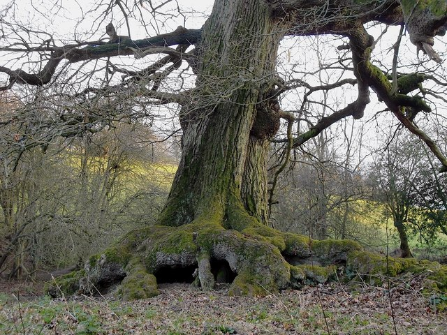 Roots and bole of an oak tree, near Wotton church
