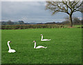 SJ3505 : Swans in a field by Dave Croker