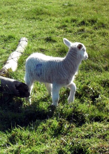 Lamb number 6