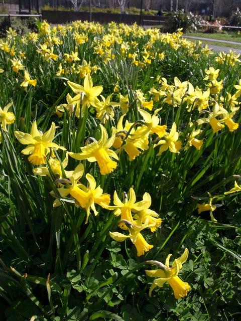 Daffodils, Wandsworth
