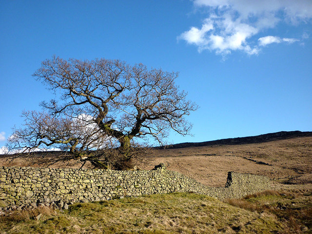Big oak tree, Wet Sleddale deer enclosures
