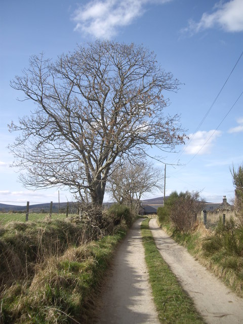 Tree by lane to North Bandodle