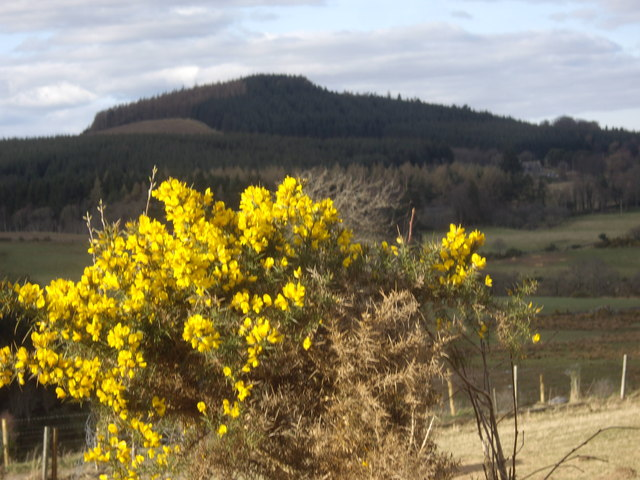 Gorse in bloom near Backhill
