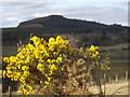 NJ6506 : Gorse in bloom near Backhill by Stanley Howe