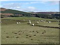 NO2260 : Sheep and mole hills, near Cammock Lodge by Oliver Dixon