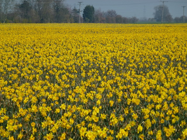 Thousands of daffodils in Lincolnshire