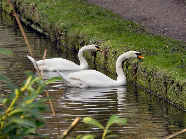 Mute Swans Feeding on the Bridgewater Canal