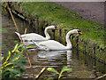SJ6887 : Mute Swans Feeding on the Bridgewater Canal by David Dixon