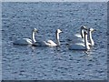NO2855 : Whooper swans on the Loch of Lintrathen by Oliver Dixon