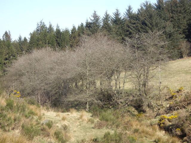 Scrub vegetation by Auchorie Burn