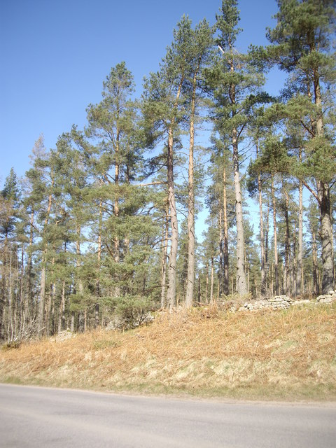 Pines at the summit of the road over Learney Hill