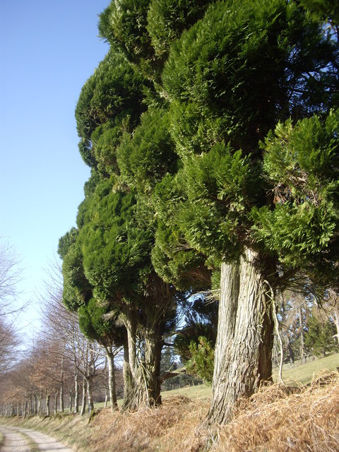 Ancient trees by the driveway to Learney House