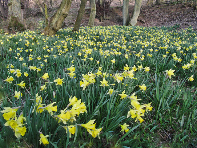 Wild daffodils by the Esk