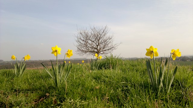 Daffodils with a view
