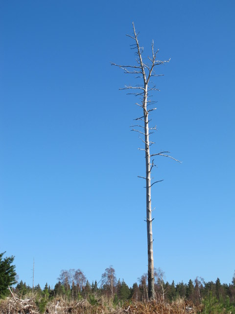 Lonesome Pine in Ramphlet Wood