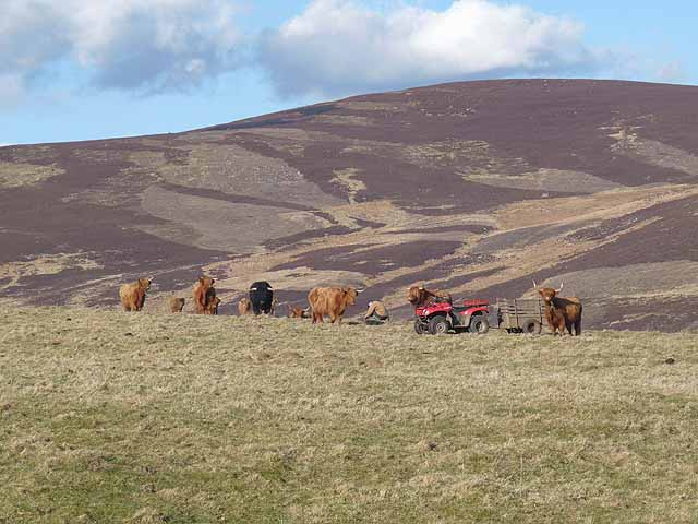 Highland cattle and quad bike