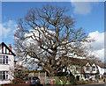 TQ3865 : Oak, Woodland Way by Stephen Richards