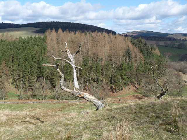 Dead tree above the valley of the Pearsie Burn