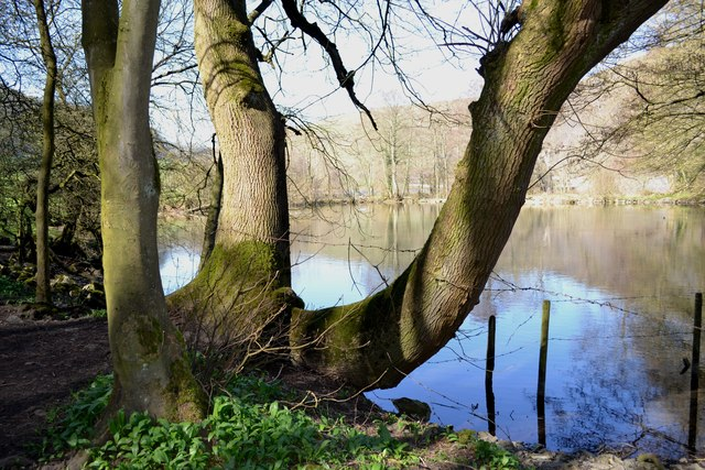 Fish pond and tree below Great Shacklow Wood