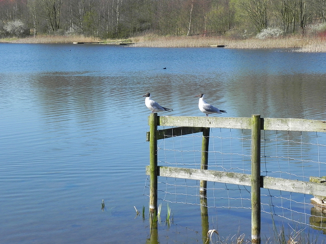 Black-headed Gulls at Bickershaw Lake