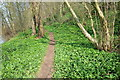 SO8168 : The Severn Way passing through wild garlic by Philip Halling