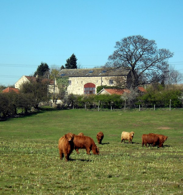 Grazing highland cattle calves at Newton Ings near Castleford