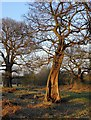 TQ1974 : Oaks at the edge of Two-Storm Wood, Richmond Park : Week 12